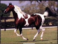 DK_05_May_National_Show_Horse_Calypso_Bay.jpg