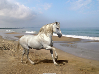 Grey_Andalusian_by_the_Sea.jpg